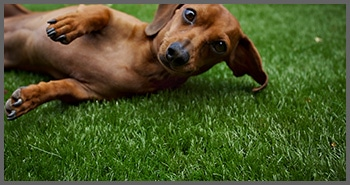 synthetic turf for dog and pet areas